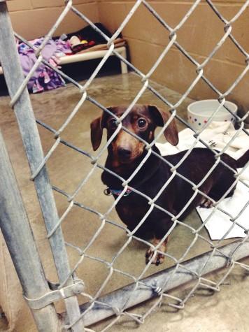 A young dog awaits adoption at RBARI.