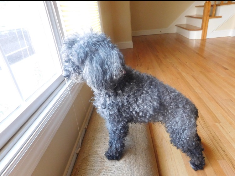 Greene family dog, Mocha, stares out of the townhouse window. The miniature poodle grew accustomed to the Greene family's second living space post-fire fairly well.